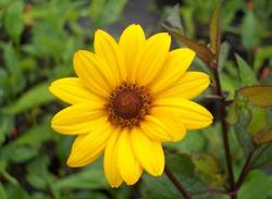Heliopsis helianthoides sca. 'Summer Nights'