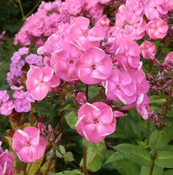 Phlox paniculata 'Betty-Marguerite'
