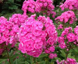 Phlox paniculata Betty Marguerite