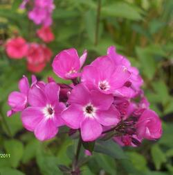 Phlox paniculata 'Sweet William'