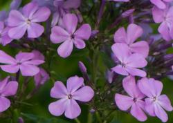 Phlox x arendsii 'Luc's Lilac'