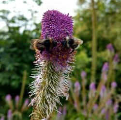 Veronicastrum 'Fascination'