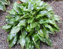 Hosta 'Crystal Dixie'