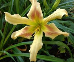 Hemerocallis 'Triade'