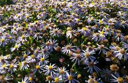 Aster ageratoides Tiny Theo