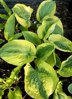 Hosta 'August Beauty'