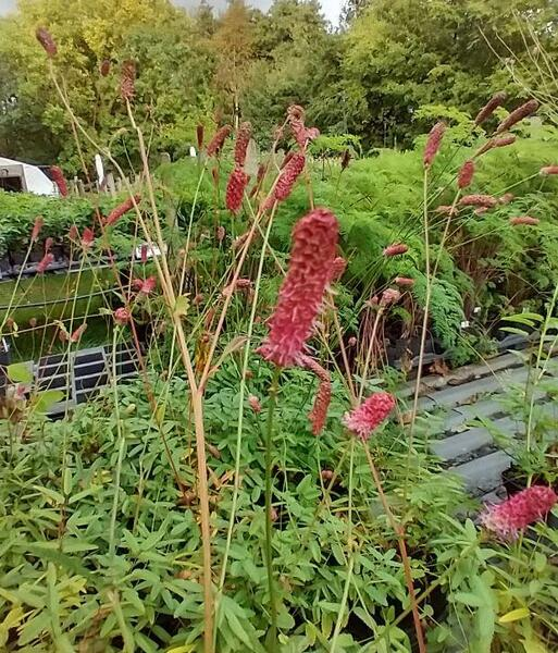 Sanguisorba 'Rock and Roll'