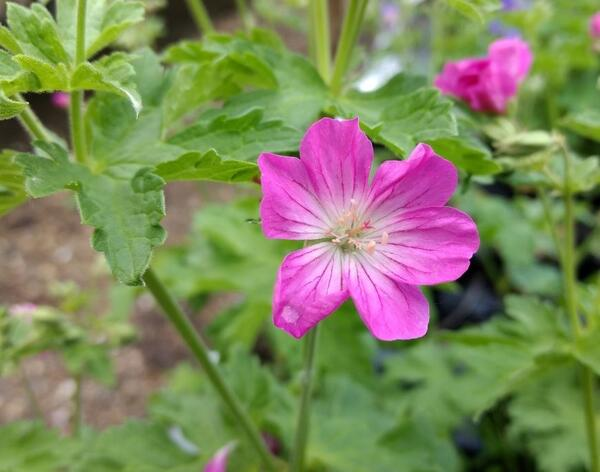 Geranium sylvaticum 'Greek Fire'