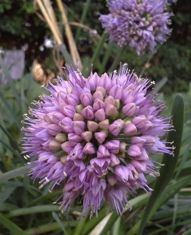Allium senescens - September