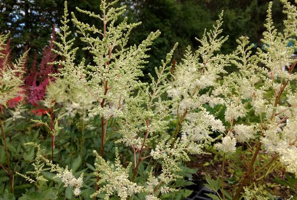 Astilbe chinensis 'Mighty Plonie'