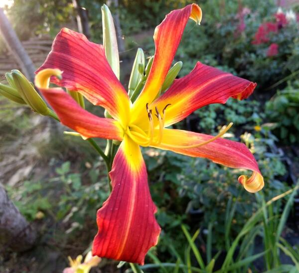 Hemerocallis 'Red Ribbons'