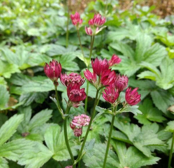 Astrantia major Hbr Rosensinfonie
