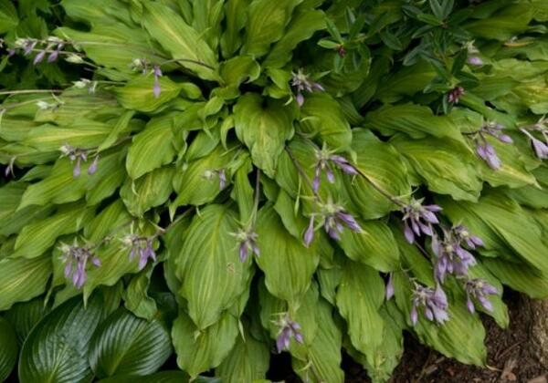 Hosta 'Totally Twisted'