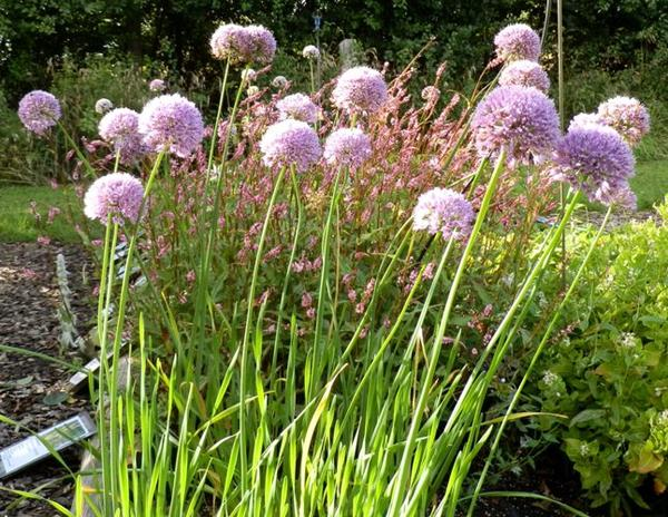 Allium senescens select
