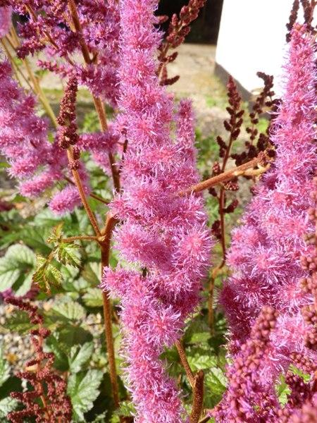 Astilbe chinensis 'Purpurlanze'