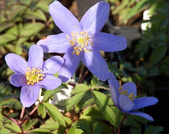 Anemone nemorosa 'Gerry'