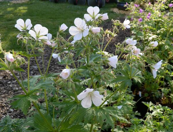Geranium sylvaticum 'Cyril's Superb White'