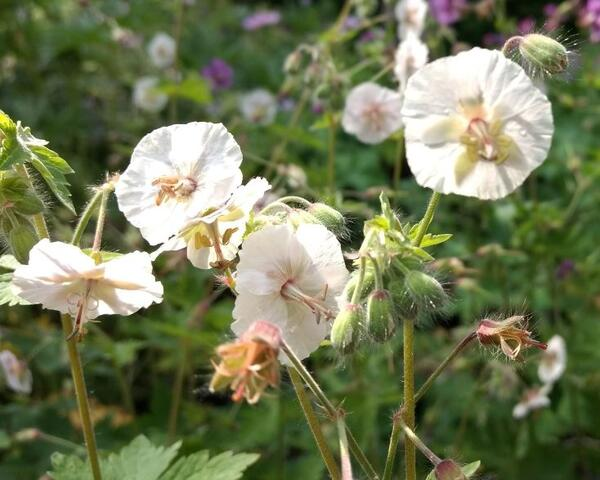 Geranium phaeum 'Ray of Light'
