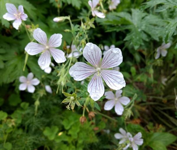 Geranium Summer Cloud