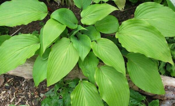 Hosta 'Red October'