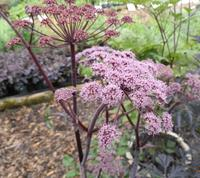 Angelica 'Vicar's Mead'