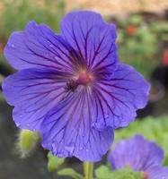Geranium 'Blue Blood'